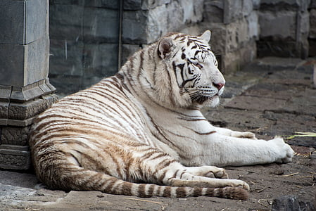 pairi daiza, white tiger, wild, predator, zoo, animal, tiger