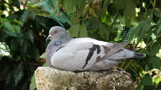 holub, vták, Čakanie, sivá, perie, zameraním, Príroda