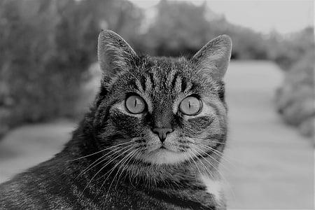 котка, скумрия, животните, Тигър котка, домашна котка, домашен любимец, котешки очи