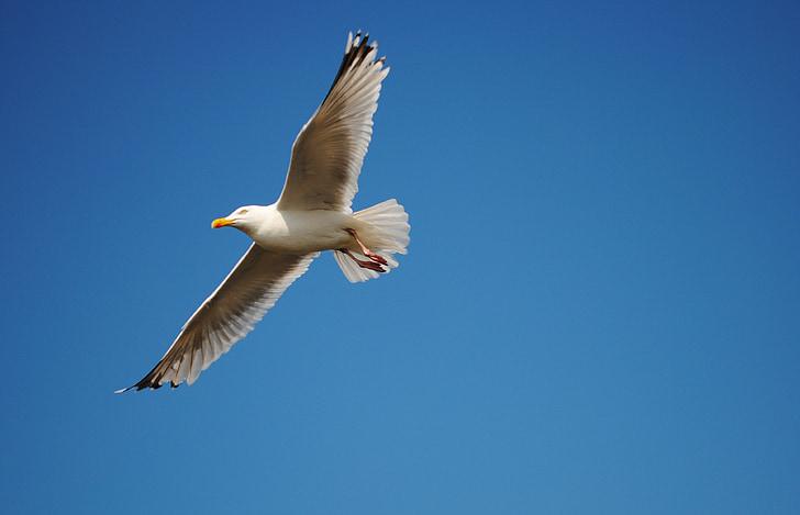 небе, Чайка, птица, лети