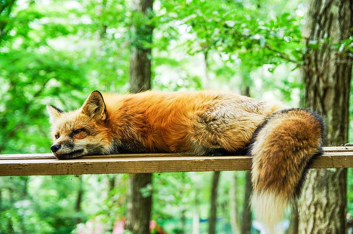 hewan, Fox, Manis, tidur, tidur, alam, Mamalia