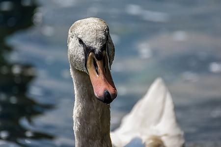 лебед, вода, бяло, вода птица, езеро, природата, Белият лебед