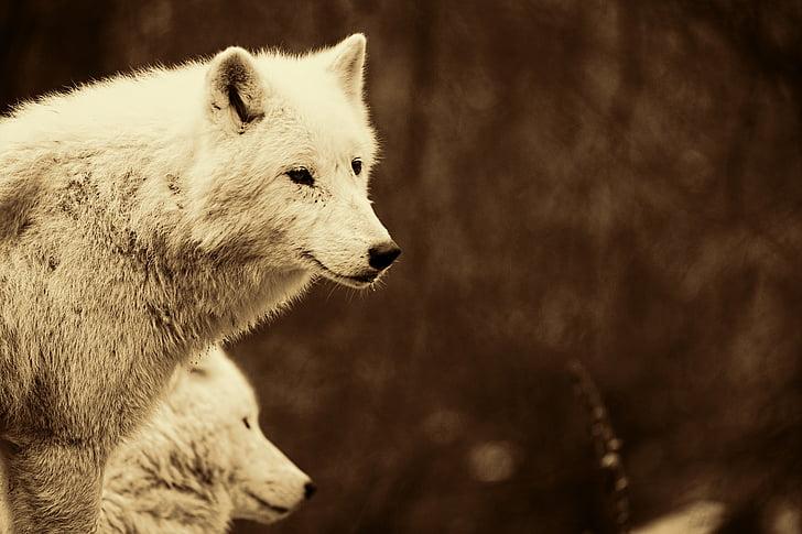 wolves, predators, mammals, white wolves, animal portrait, retro look, retro