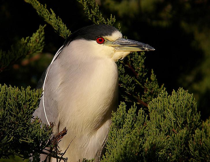 black crowned night heron, wildlife, bird, nature, wild, portrait, aquatic