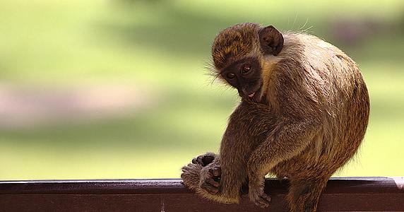 mico, animals, mamífers, animal salvatge, Retrat de Mona, primats, cansat