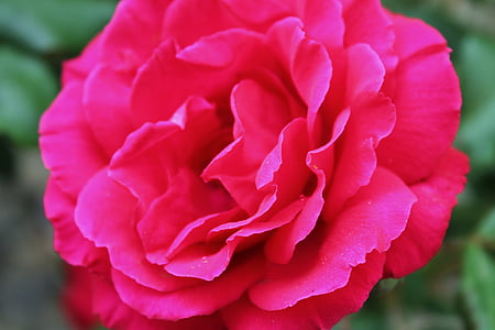 Rose, fleur, jardin, élégant, floral, amour, pétale