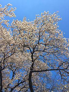 Sakura, primavera, Japó, flor, cirera, japonès, cirerer