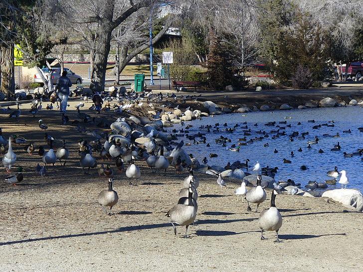 lampi, Kanadan hanhet, maahanmuutto, lintu, eläinten, Luonto