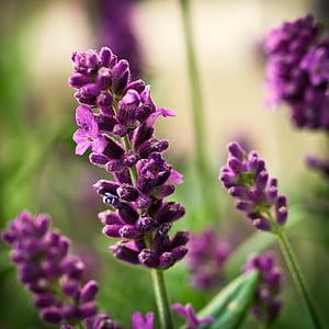 levendula, virág, lila, természet, Blossom, Bloom, illata