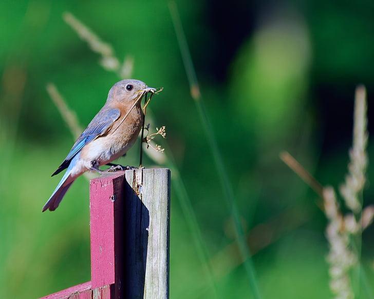 женски синя птица, синя птица, птица, Къща за гости, природата, животните, дива природа