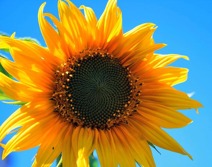 Желтый Подсолнух, цветок, раунд, желтый, яркий, подсолнечник, небо