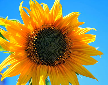 kollane päevalill, lill, ringi, kollane, ere, päevalill, taevas