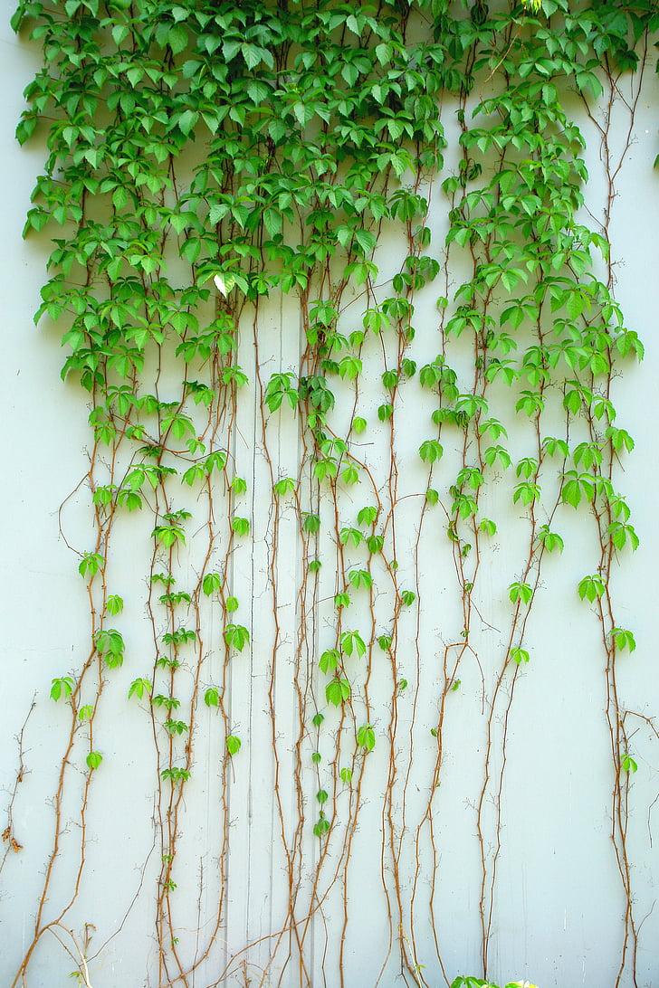 Ivy, asma, bitki, Yeşil, yaprak, yeşil yaprak, tırmanma
