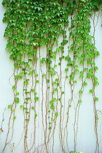 Ivy, vinič, rastlín, Zelená, Leaf, tmavozelená, lezenie