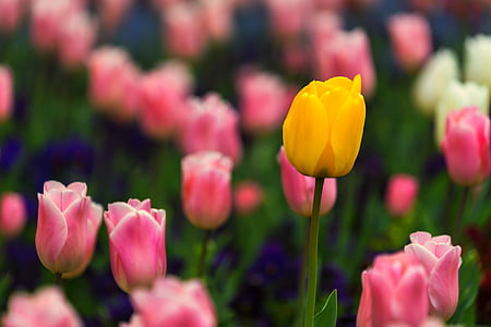 природата, цвете, фон, фон на работния плот, жълто цвете, Пролет, розово цвете