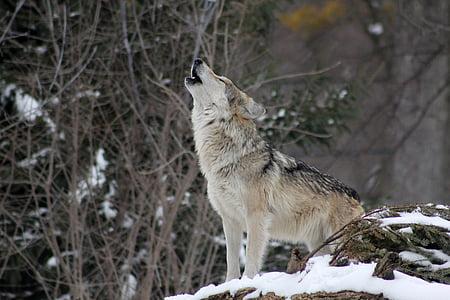 llop, udols, animal, salvatge, natura, vida silvestre, neu