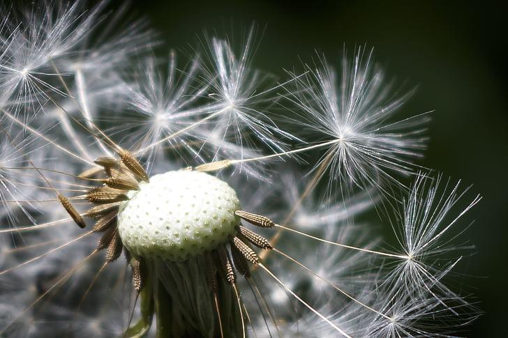 võilill, lilled, loodus, suvel, terav lill, seemned, õis