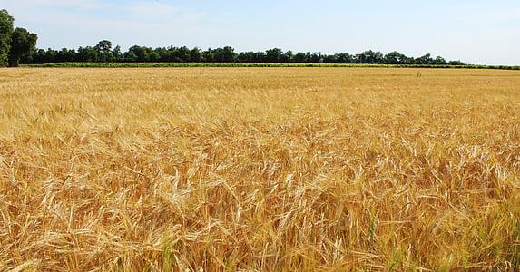 camps, blat, camps de blat, cereals, Epi, l'agricultura, cultures