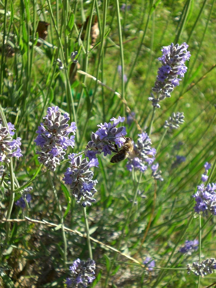 augalų, Levanda, pieva gamta