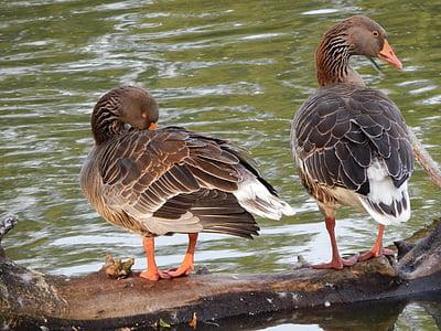 патици, гъски, дивите птици, птици