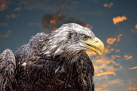 Адлер, бяла опашка орел, обучение, раптор, затвори, перушина, Гербът на птица