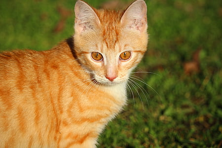 cat, kitten, red mackerel tabby, red cat, young cat, cat baby, domestic cat