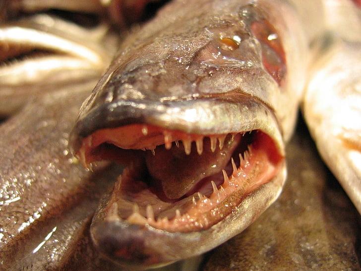 riba, smuđ, Skala, životinje