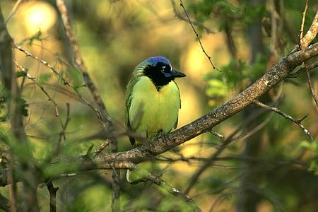 зелен Джей, птица, дива природа, природата, Портрет, кацане, дърво