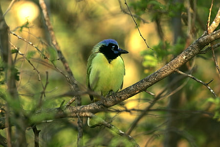 green jay, bird, wildlife, nature, portrait, perching, tree