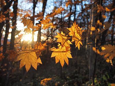jesenné listy, lúčov, jeseň, jeseň v Japonsku, Japonsko, farebné, rastlín