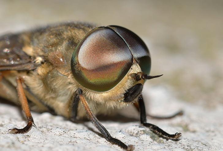 insectes, dípters, Tabanus