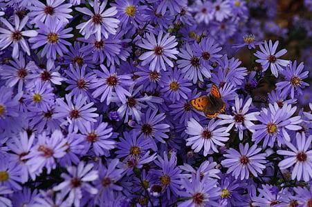 vlinder, bloemen, Chrysant, paars, insect, Tuin, buitenshuis