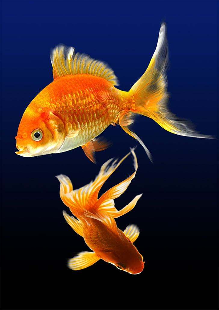 риба, аквариум, вода, подводни, морски живот, едно животно, плуване