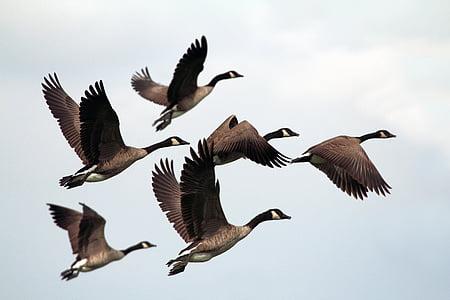 lintu, lentää, eläinten, nokka, taivas, pilvet, parvi