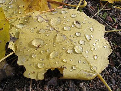 krople, pozostawia, kropelki, wody, krople deszczu, liści, rosy