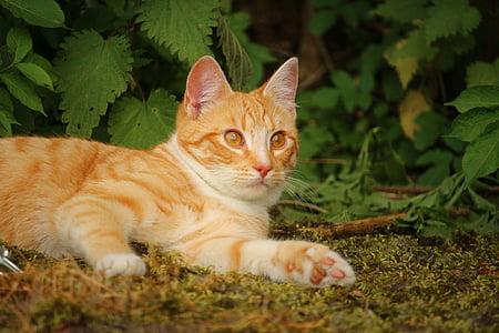 cat, mieze, kitten, red cat, red mackerel tabby, mackerel, domestic cat
