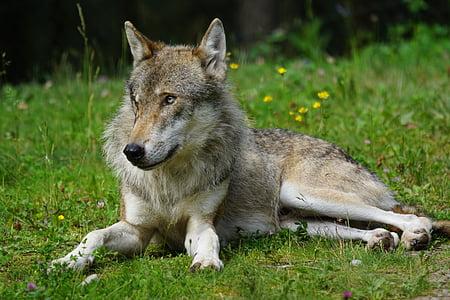 wolf, predator, pack animal, carnivores, mammal, dormant, wildlife photography