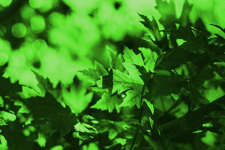 zelené listy, listy, Zelená, zelené listy pozadia, pozadie, Tapeta, Leaf