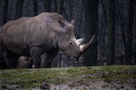 animal, forest, nature, rhino, rhinoceros, wild animal, wildlife