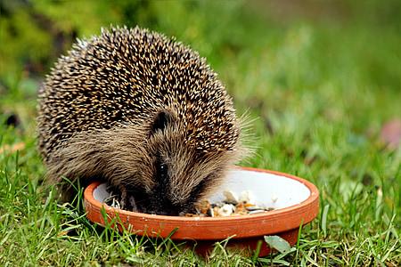 životinja, sisavac, jež, igličar, obrok, vrt, trava