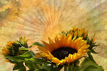tekstuur, taust, lill, Sun flower, Helianthus annuus, kollane, päevalill