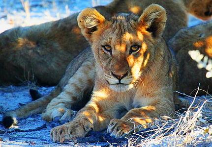 lion, etosha, namibia, africa, safari, lion - Feline, wildlife