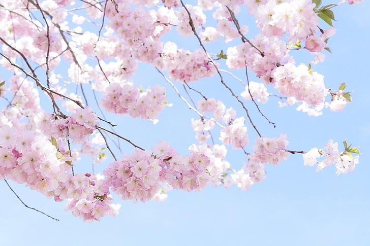 puu, lill puu, Bloom, kevadel, roosa, kirsi õis, õis