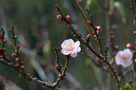 peach blossom, spring, nature, pink, branch, blossom, soft pink