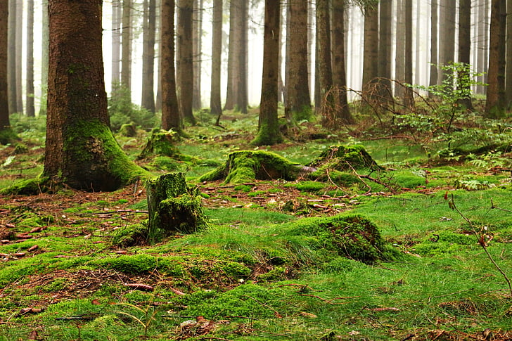 forest, moss, forest floor, nature, trees, dead wood, glade