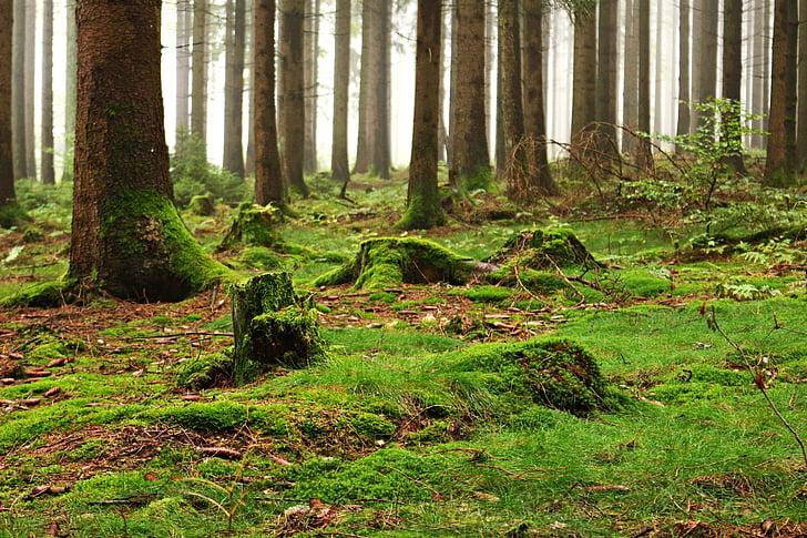 bosc, molsa, sotabosc, natura, arbres, fusta morta, clar