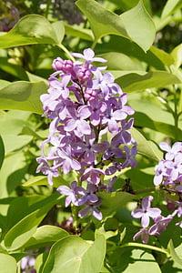 lilac, bush, lilac bush, blossom, bloom, sky, grow
