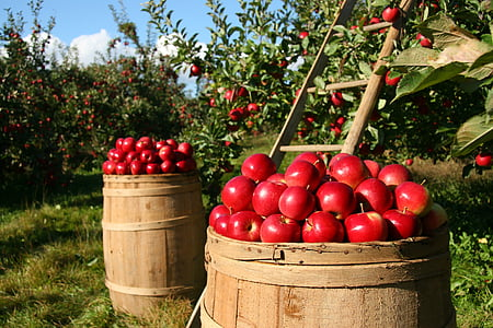 Orchard, Apple, õunad, puu, roheline, loodus, puu