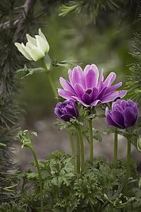 Anemone de, violeta, porpra, anemone de porpra, flor, flor porpra, flor