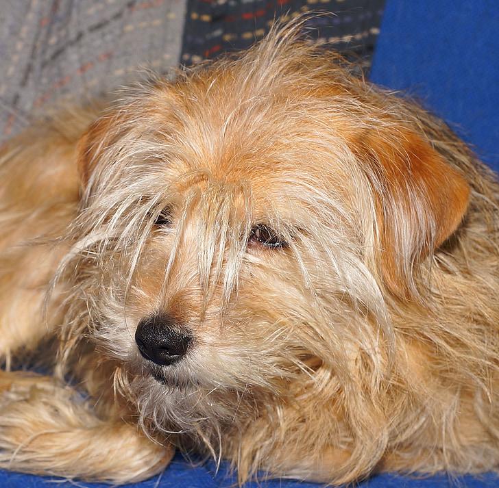 domestic dog, bitch, hybrid, faithful look, attention, mammal, eyes